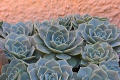 Planta na flor no jardim Bola mexicana da neve, gema mexicana, rosa mexicana branca Planta suculento em um jardim do deserto cien imagem de stock