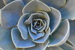 Planta na flor no jardim Bola mexicana da neve, gema mexicana, rosa mexicana branca Planta suculento em um jardim do deserto cien fotografia de stock royalty free