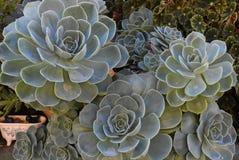 Planta na flor no jardim Bola mexicana da neve, gema mexicana, rosa mexicana branca Planta suculento em um jardim do deserto cien fotos de stock royalty free