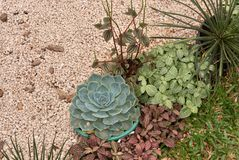 Planta na flor no jardim Bola mexicana da neve, gema mexicana, rosa mexicana branca Planta suculento em um jardim do deserto cien fotografia de stock