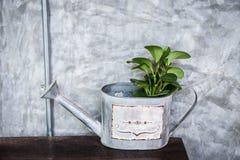 Planta na lata molhando Fotografia de Stock