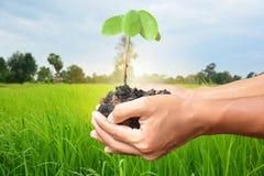 Planta na mão no fundo do campo do arroz Foto de Stock