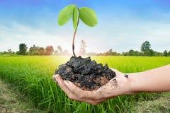 Planta na mão no fundo do campo do arroz do por do sol Imagem de Stock