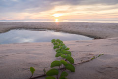 Planta na praia Fotos de Stock Royalty Free