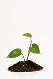 Planta na sujeira Imagem de Stock Royalty Free