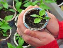A planta cresce, agricultura Fotografia de Stock
