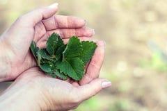 Planta nas mãos do ` s da mulher Foto de Stock