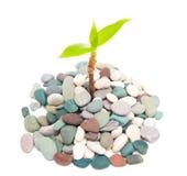Planta nas pedras Fotografia de Stock Royalty Free