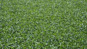 Planta natural da lagoa Fotos de Stock Royalty Free
