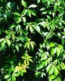 planta natural verde del verano de las hojas Fotografía de archivo libre de regalías