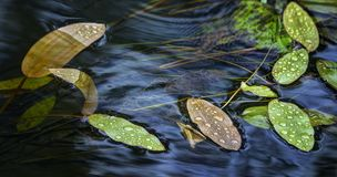 Planta no córrego do rio Fotos de Stock Royalty Free