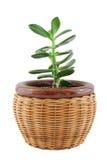 Planta no potenciômetro Imagem de Stock