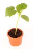 Planta no potenciômetro Foto de Stock Royalty Free