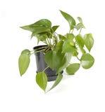 Planta no potenciômetro Fotos de Stock Royalty Free