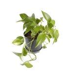 Planta no potenciômetro Fotografia de Stock Royalty Free
