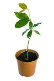 Planta no potenciômetro isolado sobre o branco fotografia de stock royalty free