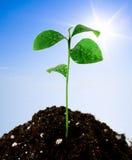 Planta no solo Imagens de Stock Royalty Free