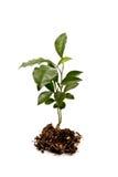 Planta nova Imagem de Stock