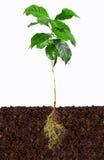Planta nova do café com raizes expor no solo Foto de Stock