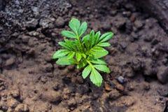 Planta nova do cravo-de-defunto da plântula, opinião do Alto-ângulo e foco seletivo nas folhas foto de stock royalty free