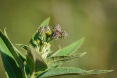 Planta nova do ironweed Imagem de Stock Royalty Free