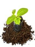Planta nova em plantar o saco no solo Foto de Stock Royalty Free