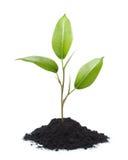 Planta nova isolada Imagens de Stock Royalty Free