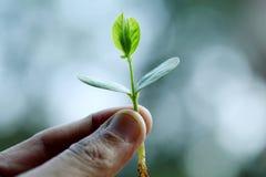 Planta nova nas mãos Foto de Stock Royalty Free