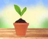Planta nova no potenciômetro na tabela de madeira sobre o fundo da natureza Fotografia de Stock