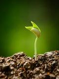 Planta nova, plântula, broto, crescendo Fotografia de Stock