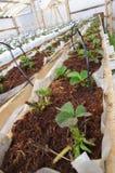 Planta nova que está começando na primavera Imagens de Stock Royalty Free