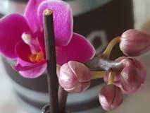 Planta Orchidee verde selvagem de Grern Foto de Stock