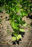 Planta orgânica do aipo vermelho Imagens de Stock