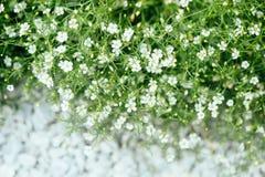 Planta ornamental Alissum Fotografía de archivo