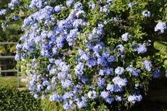 Planta ornamental azul, flor de Flammer, polemonio fotos de archivo