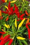 Planta ornamental de la pimienta Fotos de archivo libres de regalías