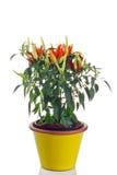 Planta ornamental del chile en pote Imagenes de archivo