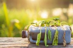 Planta ou vegetal inoperante na garrafa plástica na tabela de madeira com s foto de stock