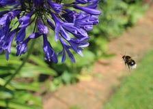 Planta púrpura con el primer de la abeja Imagenes de archivo