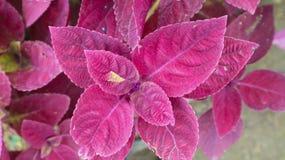 Planta púrpura de la flor de la hoja en el parque Fotografía de archivo libre de regalías