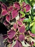 Planta púrpura de la hoja Imagenes de archivo