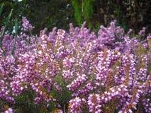 Planta púrpura del arbusto Imágenes de archivo libres de regalías