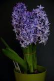 Planta púrpura del jacinto Imagen de archivo libre de regalías