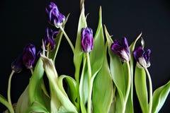 Planta púrpura del jacinto Fotografía de archivo
