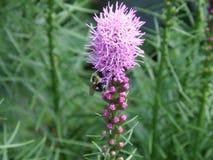 Planta púrpura floreciente del Liatris en la floración Fotografía de archivo libre de regalías