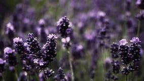 Planta púrpura hermosa del lavanda Fotos de archivo