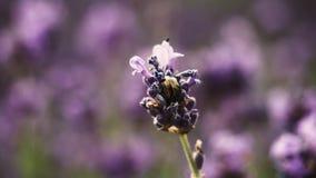 Planta púrpura hermosa del lavanda con un insecto Fotografía de archivo