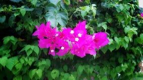Planta púrpura medicinal hermosa de Bugambilia imagen de archivo libre de regalías