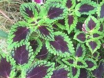 planta púrpura y verde del coleo Fotografía de archivo