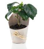 Planta para o presente no empacotamento de papel Fotos de Stock Royalty Free